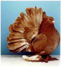Голубь Домашние птицы.  Виды домашних птиц, фото и описание.